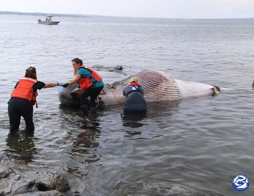 A 4,000 pound minke whale was found dead off the coast of Maine Saturday. Researchers from Marine Mammals of Maine are still working to determine what killed it.