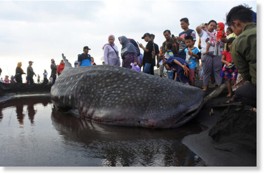 Curious villagers stand near a dead whale shark washed up onshore in Kencong subdistrict, Jember, East Java, on August 30, 2020.