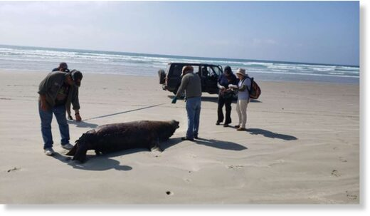 One of the 137 dead sea lions is seen on the beach in Baja California Sur state.