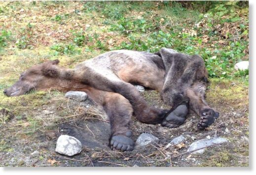 The emaciated grizzly was found dead on Smith Inlet in Central Coast of B.C.