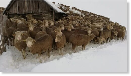 6.000 sheep and ewes, about a hundred cows, divided into five flocks are trapped in the snow