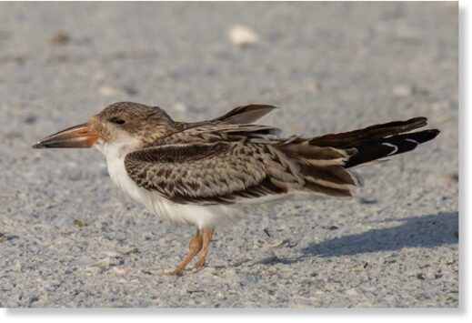 A young black skimmer with a swollen leg joint
