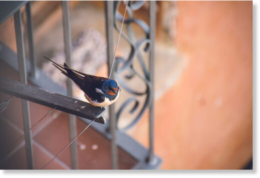 Swallows usually migrate in September but the mild start to October has left them stuck in the Lot in southwest France