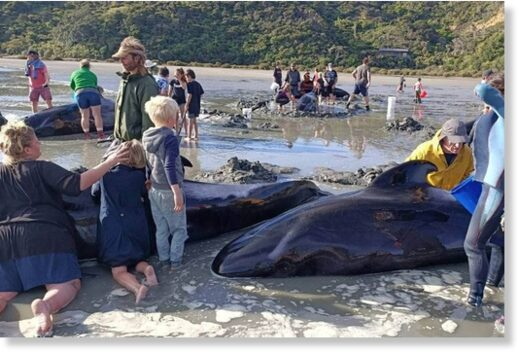 Nineteen pilot whales are dead after an overnight stranding near Coromandel's Colville Bay