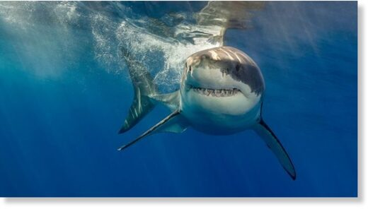 Great white sharks are said to be attracted by the cooler waters