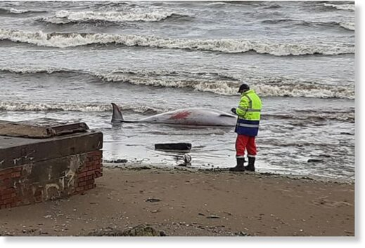 Two whales have washed up in East Lothian this week