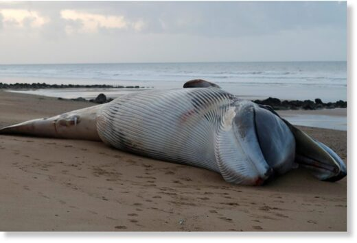 The carcass of a fin whale