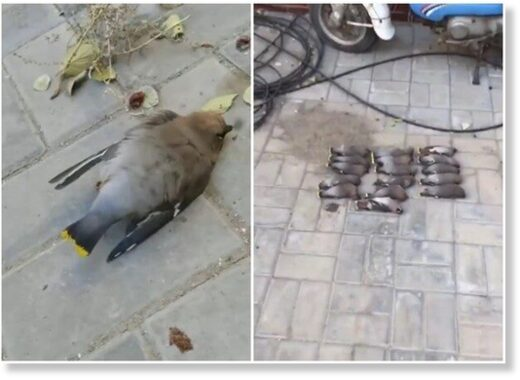 Every day waxwings are found dead or dying in the street in Baotou City