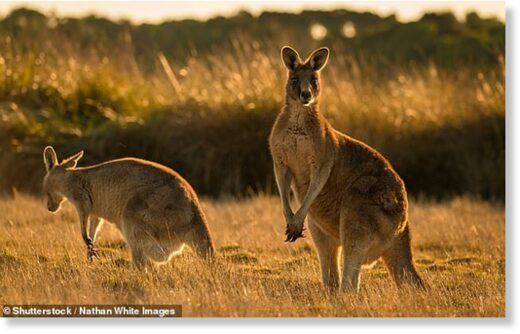 A kangaroo attacked a female jogger and chased her to a house in a scene 'like a horror movie' which was blamed on her perfume driving the animal wild (file photo)