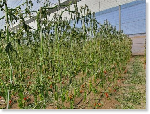 Greenhouse tomatoes in Níjar