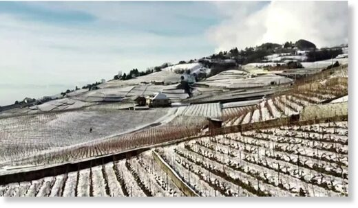 snow vineyards