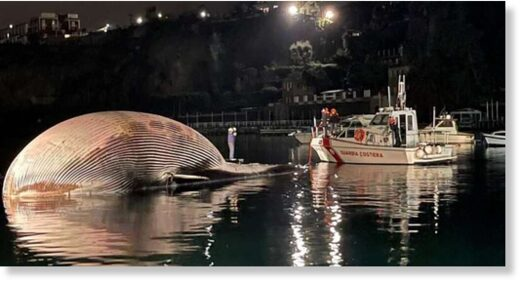 The carcass of a huge dead whale is towed by Italy's coast guard to the port of Naples