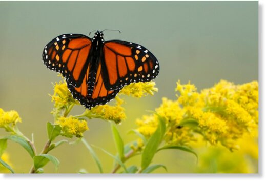 Monarch butterfly pauses in a field of goldenrod