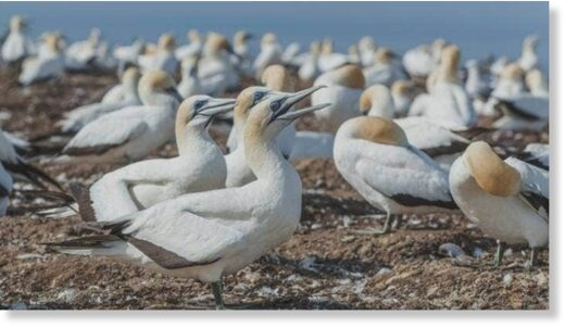 With its 1.8 m wing-span, the Australasian gannet is a conspicuous, predominantly white seabird that is common in New Zealand coastal waters (File Photo).