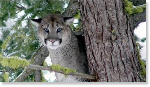 A rare cougar attack on a human has been reported in an Soo Valley north of Vancouver. The species is also known as a mountain lion and puma.