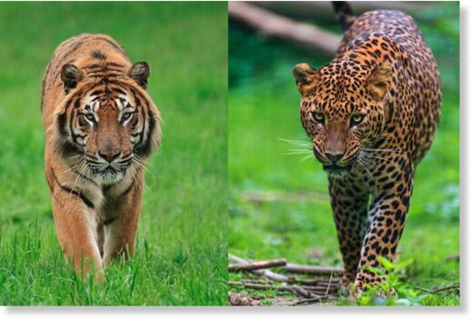 Most human deaths were in leopard and tiger attacks.