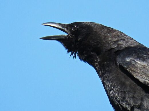 Crows are much smarter than we thought
