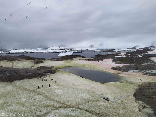 antarctic algae
