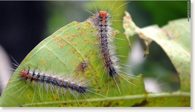 Hairy Caterpillars Swarm Over Parts Of Indonesia Earth Changes