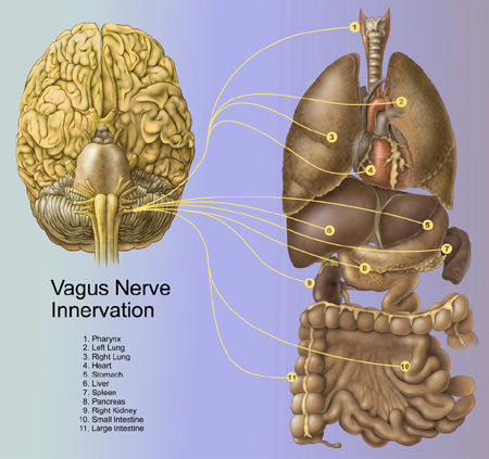 vagus nerve innervation