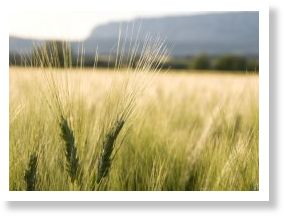 Wheat Disease