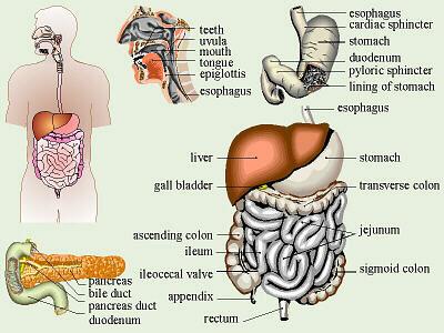 Image result for meat digestion