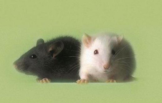 'Humanized' Mice to Aid Drug Testing