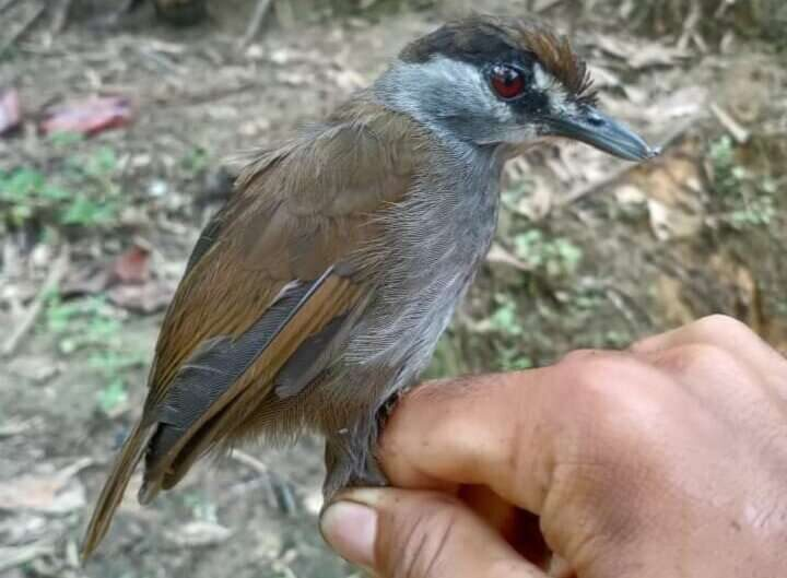 Bird believed extinct for 170 years spotted in Borneo – researchers were looking in the wrong place