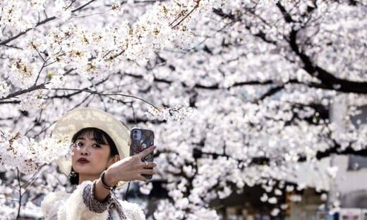 Cherry blossom in Japan reached peak bloom earlier than ever this year