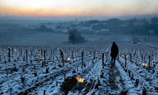 Burgundy vines have been set alight to fight against frost