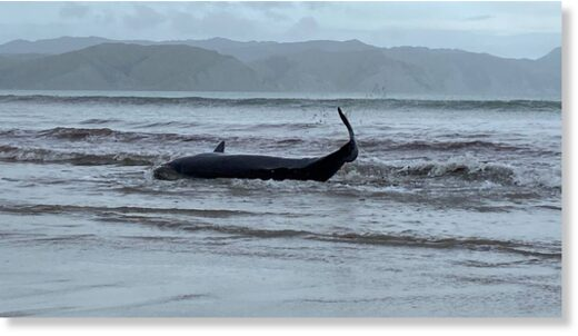 A pygmy sperm whale about four metres in length beached itself at Mahia beach on April 10.