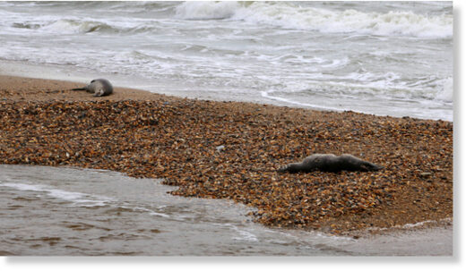 Authorities previously reported the death of nearly 300 endangered seals on Dagestan's Caspian shore in December 2020.