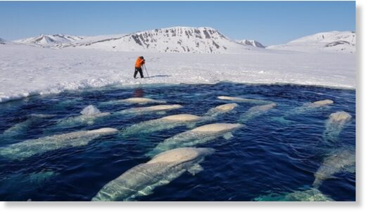 Whales trapped in ice – 14 May 2021