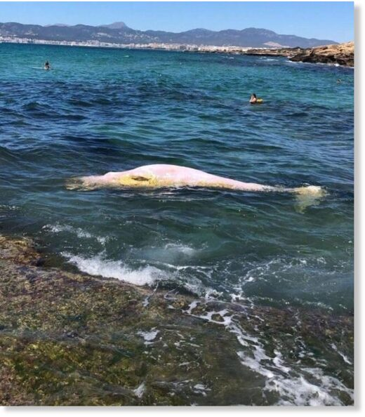 The whale's body was floating near Es Carnatge.
