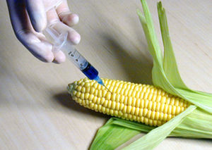 injecting corn w/hypodermic