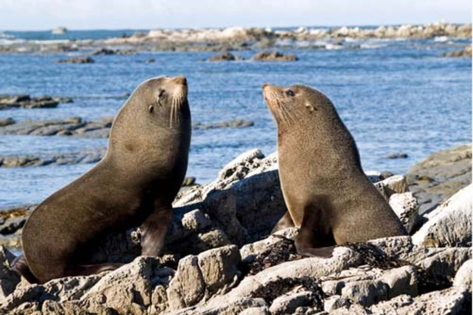 Australia: 53 dead fur seals found on the beach