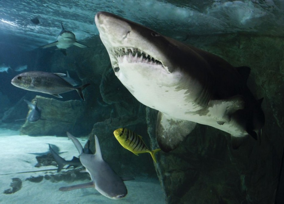 Australia Shark Attacks: 3 Swimmers Attacked in Unusual First 3 Weeks of 2012