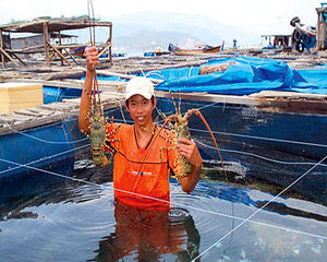Lobster farmers are facing serious difficulties to avoid their crop mortality.