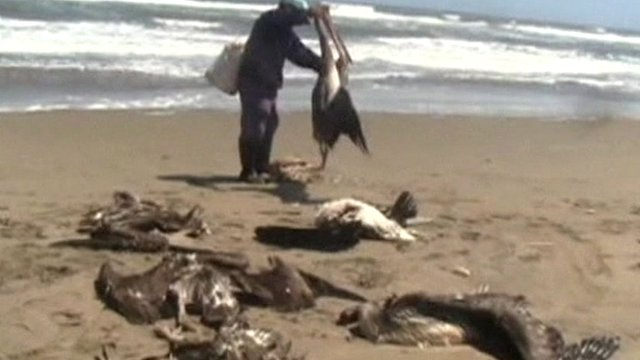 Mass Bird Deaths: Peru examines deaths of more than 500 pelicans