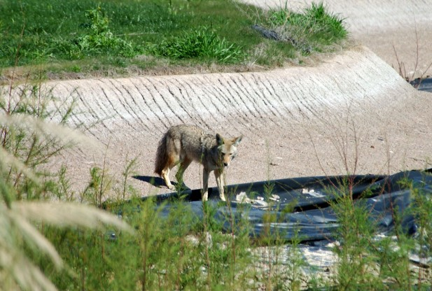 Urban coyotes making the big city their home