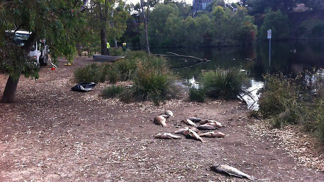 Hundreds of dead fish wash up in St Peters Billabong, Australia