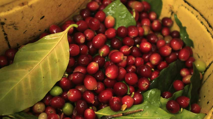 Coffee beans in danger of extinction