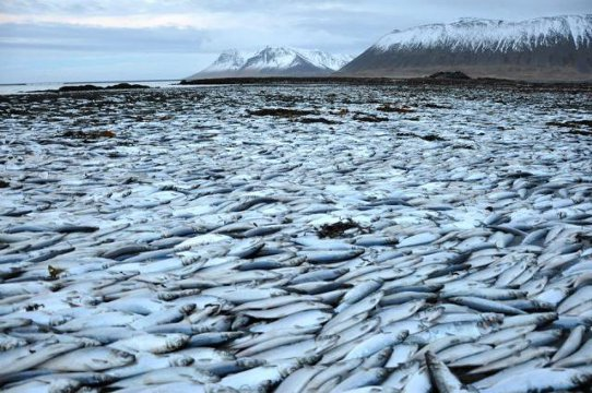 Cause of death of thousands of herring in West Iceland a mystery