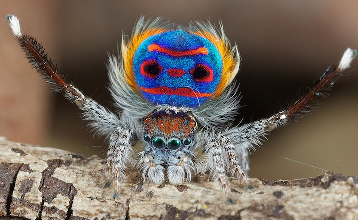 Incredible shots of the exotic peacock spider