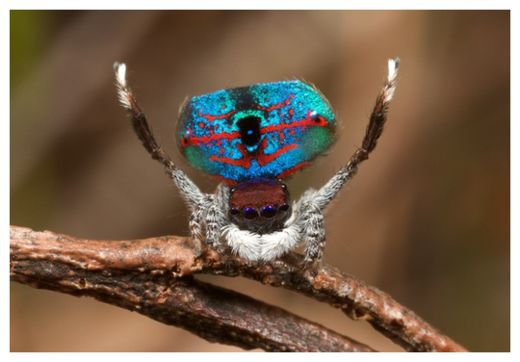 Peacock Spider_1