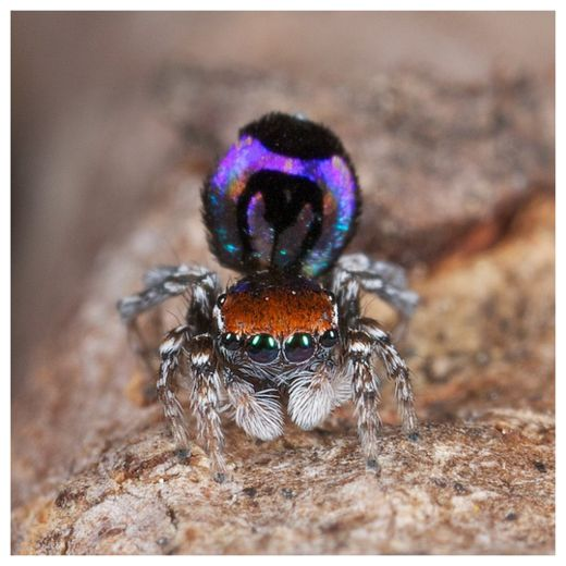 Peacock Spider_2