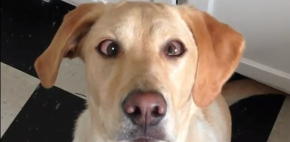 Dog can cross eyes on command