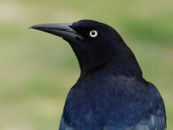 Troublesome great-tailed grackle spreads north, west