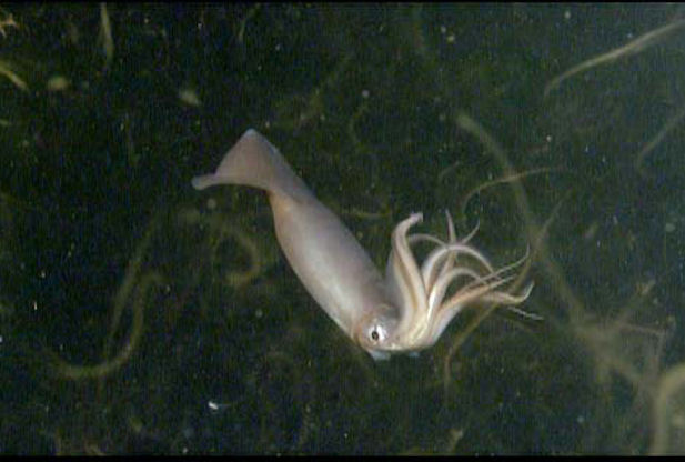 Large Humboldt squid continue to invade coastal California in record numbers