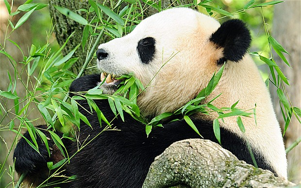 Giant Pandas hold new weapon in fight against superbugs